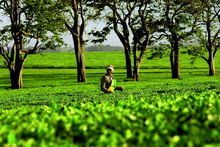Рождение чая: Секреты чайного производства.