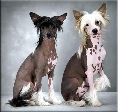 Самые модные декоративные собачки 2012 года